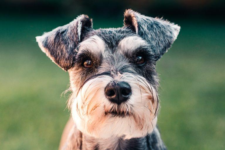 allergivänlig hund