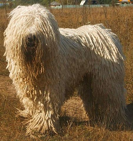 Hund med dreadlocks