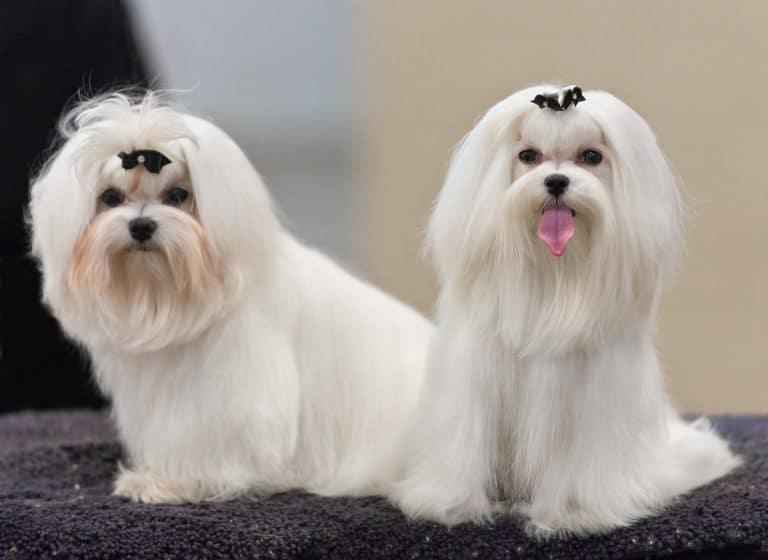 Små hundar med långt hår