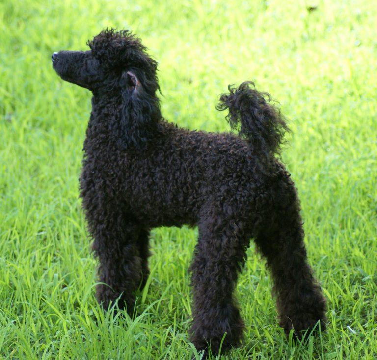 Hund med lockigt hår