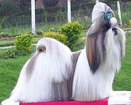 Hund med tofs
