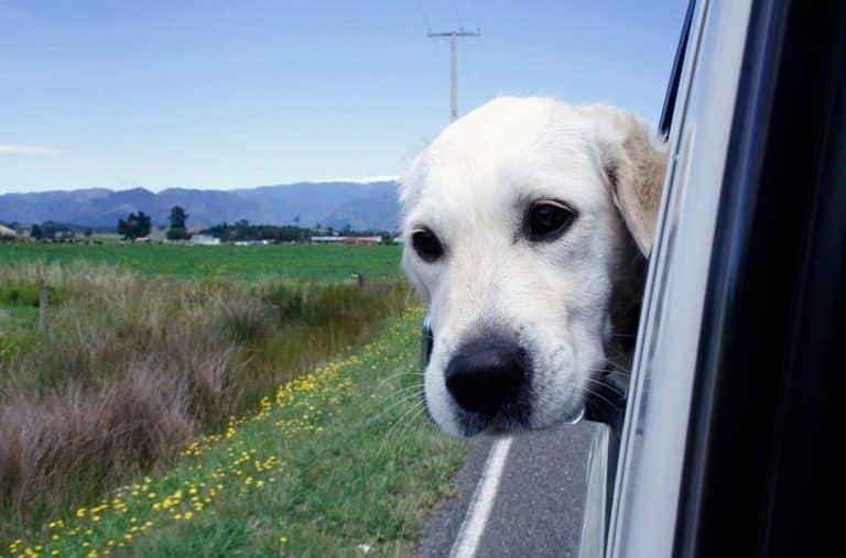 Får hunden vara lös i bilen