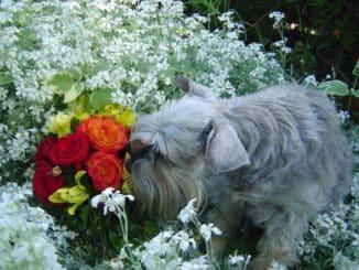 Farliga växter för hund Lista med bilder