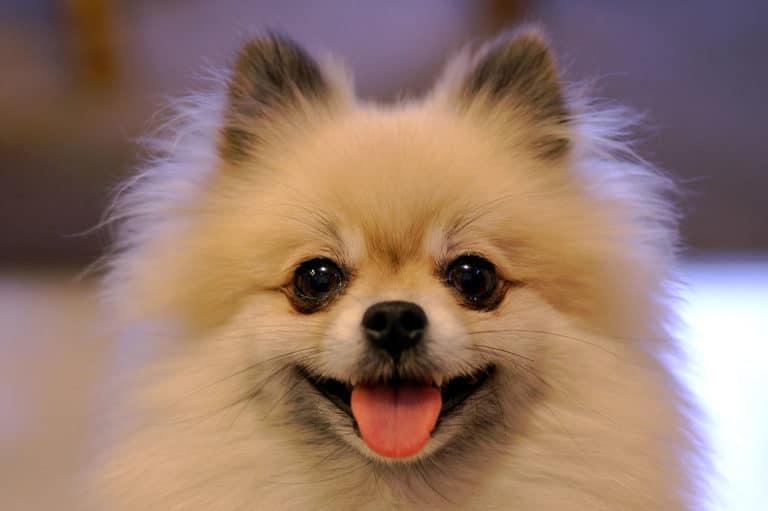 Liten hund för nybörjare